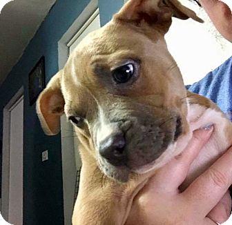 American Bulldog/Terrier (Unknown Type, Medium) Mix Puppy for adoption in Miami, Florida - Lisa