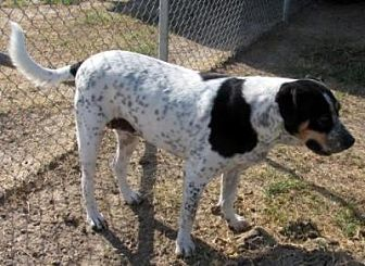 Pointer/Hound (Unknown Type) Mix Dog for adoption in Quinlan, Texas - Thelma