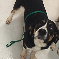 Basset Hound/Border Collie Mix Dog for adoption in Newnan, Georgia - Hank