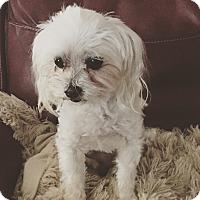 Adopt A Pet :: yogi - El Segundo, CA