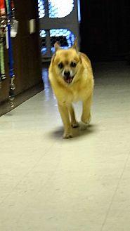 Chihuahua/Pug Mix Dog for adoption in Tavares, Florida - Nico