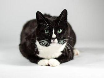 Domestic Shorthair/Domestic Shorthair Mix Cat for adoption in Kingston, Ontario - Harper