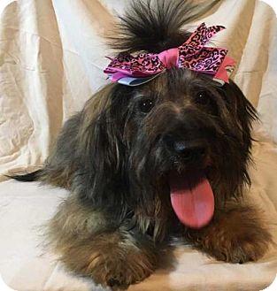 Havanese Mix Dog for adoption in sylmar, California - Hannah