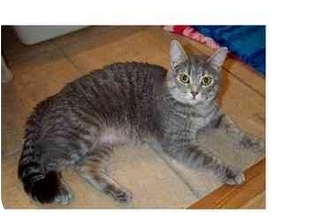 Domestic Shorthair Cat for adoption in San Diego/North County, California - Daphne
