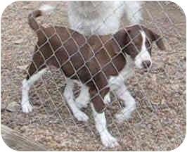 Springer Spaniel/Labrador Retriever Mix Dog for adoption in Tahlequah, Oklahoma - Hewey