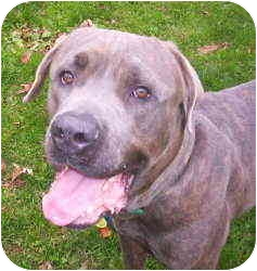 Cane Corso Dog for adoption in New York, New York - Butch-PA