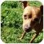 Photo 2 - Pug/Boxer Mix Dog for adoption in Castro Valley, California - Bruiser