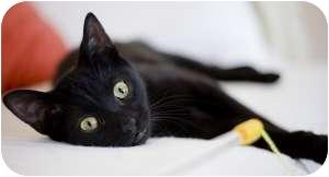 Bombay Kitten for adoption in Chicago, Illinois - Teller