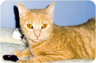 Domestic Shorthair Cat for adoption in Medway, Massachusetts - Cinnamon