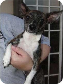 Chihuahua Mix Dog for adoption in Astoria, New York - Tara
