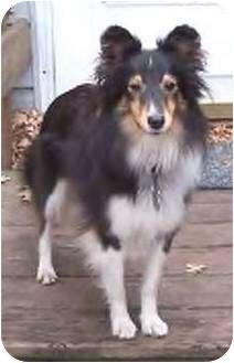 Sheltie, Shetland Sheepdog Dog for adoption in Circle Pines, Minnesota - Lily