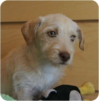Cairn Terrier/Terrier (Unknown Type, Small) Mix Puppy for adoption in Houston, Texas - Sheldon (so handsome!)