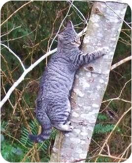 Domestic Shorthair Cat for adoption in Tillamook, Oregon - Montessa