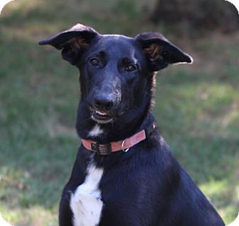 Shepherd (Unknown Type)/Collie Mix Puppy for adoption in Kalamazoo, Michigan - Kelley