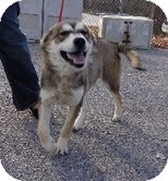 Husky Mix Dog for adoption in Hagerstown, Maryland - Timber