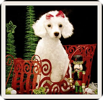 Poodle (Toy or Tea Cup) Dog for adoption in Pascagoula, Mississippi - Clarice
