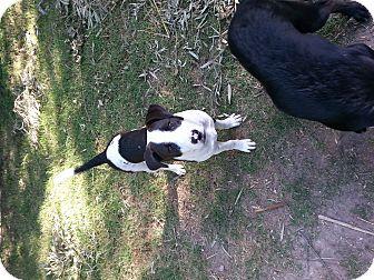 Bull Terrier Mix Dog for adoption in San Antonio, Texas - Felipe