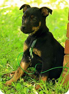 Jack Russell Terrier Mix Puppy for adoption in Staunton, Virginia - Margo