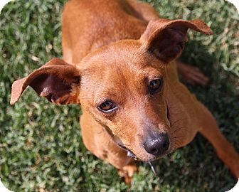Italian Greyhound/Miniature Pinscher Mix Dog for adoption in Edmonton, Alberta - Angie