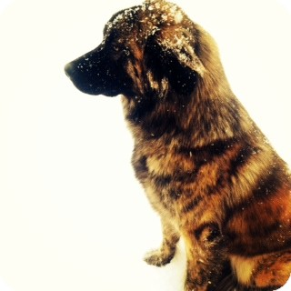German Shepherd Dog/Briard Mix Dog for adoption in Bentonville, Arkansas - Heidi