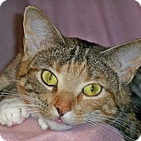 Calico Cat for adoption in Rochester, New York - Viola