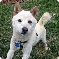 Adopt A Pet :: Yoko - Centennial, CO