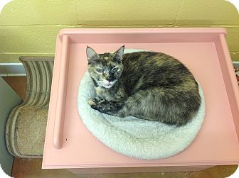Domestic Shorthair Cat for adoption in Lake Charles, Louisiana - CeeJay