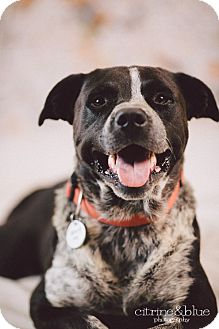 Australian Cattle Dog Mix Dog for adoption in Portland, Oregon - Captain