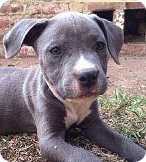 American Pit Bull Terrier Mix Puppy for adoption in Los Angeles, California - Pumbaa (AKA Benji)