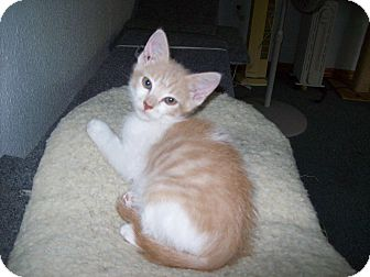 Domestic Shorthair Kitten for adoption in Stockton, Missouri - Terrance
