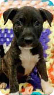 Terrier (Unknown Type, Medium)/Labrador Retriever Mix Puppy for adoption in Barnegat, New Jersey - Fred