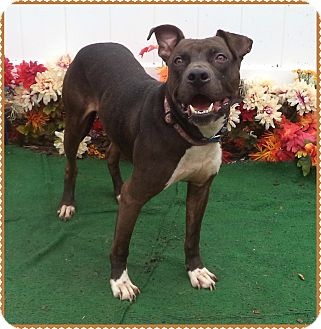 Pit Bull Terrier/Labrador Retriever Mix Dog for adoption in Marietta, Georgia - ROO