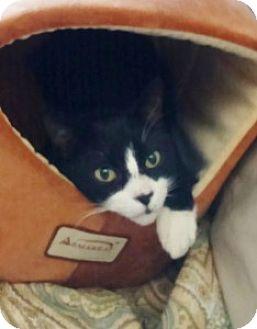Domestic Shorthair Cat for adoption in Medford, Massachusetts - S.J.