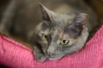 Domestic Shorthair Cat for adoption in New Orleans, Louisiana - Puff