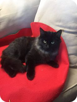 Domestic Longhair Cat for adoption in Mansfield, Texas - Charlie