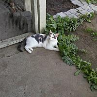 Calico Cat for adoption in Elk Grove, California - Elsa