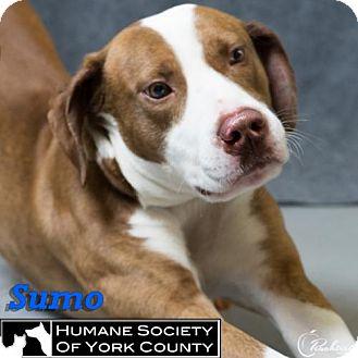 Labrador Retriever Mix Dog for adoption in Fort Mill, South Carolina - Sumo