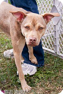 Pug/Terrier (Unknown Type, Medium) Mix Dog for adoption in Bloomington, Illinois - Sandy