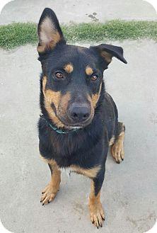 Rottweiler Mix Dog for adoption in Sacramento, California - Keeper!