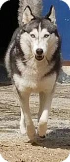 Husky Dog for adoption in New Smyrna Beach, Florida - Zoey