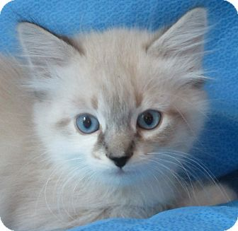 Siamese Kitten for adoption in Meridian, Idaho - Faith