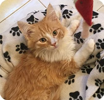 Domestic Longhair Kitten for adoption in Lombard, Illinois - Amigo