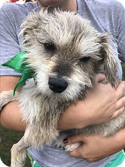 Terrier (Unknown Type, Small) Mix Dog for adoption in San Diego, California - Seuss