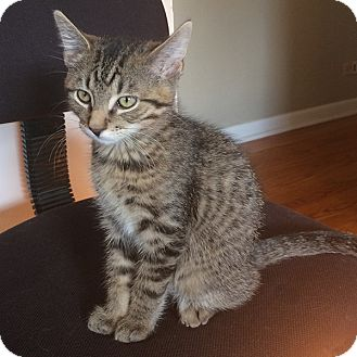 Domestic Shorthair Kitten for adoption in Lombard, Illinois - Barbaro
