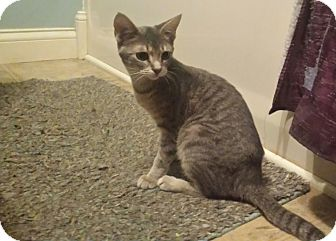 Domestic Shorthair Cat for adoption in Kalamazoo, Michigan - Relly - PetSmart