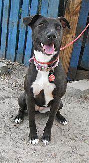 Labrador Retriever Mix Dog for adoption in Wallis, Texas - Blackie