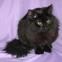 Domestic Longhair Cat for adoption in Powell, Ohio - Satin