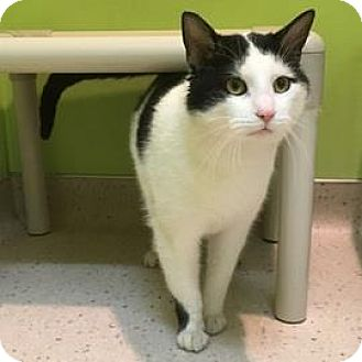 Domestic Shorthair Cat for adoption in Janesville, Wisconsin - Mr. Bigglesworth