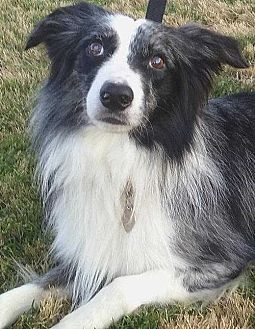 Australian Shepherd Dog for adoption in Sarasota, Florida - Royce