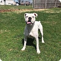 Adopt A Pet :: Max - Baltimore, MD